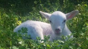 New Lamb.jpg
