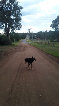 Duff the farm dog walking to the Hunter River - Hunter valley Farmstay