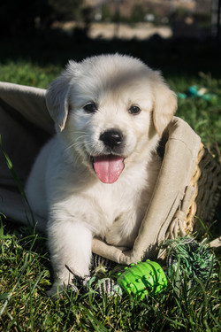 smiley-english-golden-pup