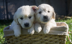 two-puppies-basket
