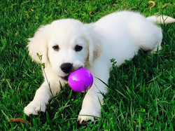 Golden Puppy Chewing on Toy