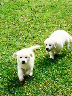 Two Puppies Chasing