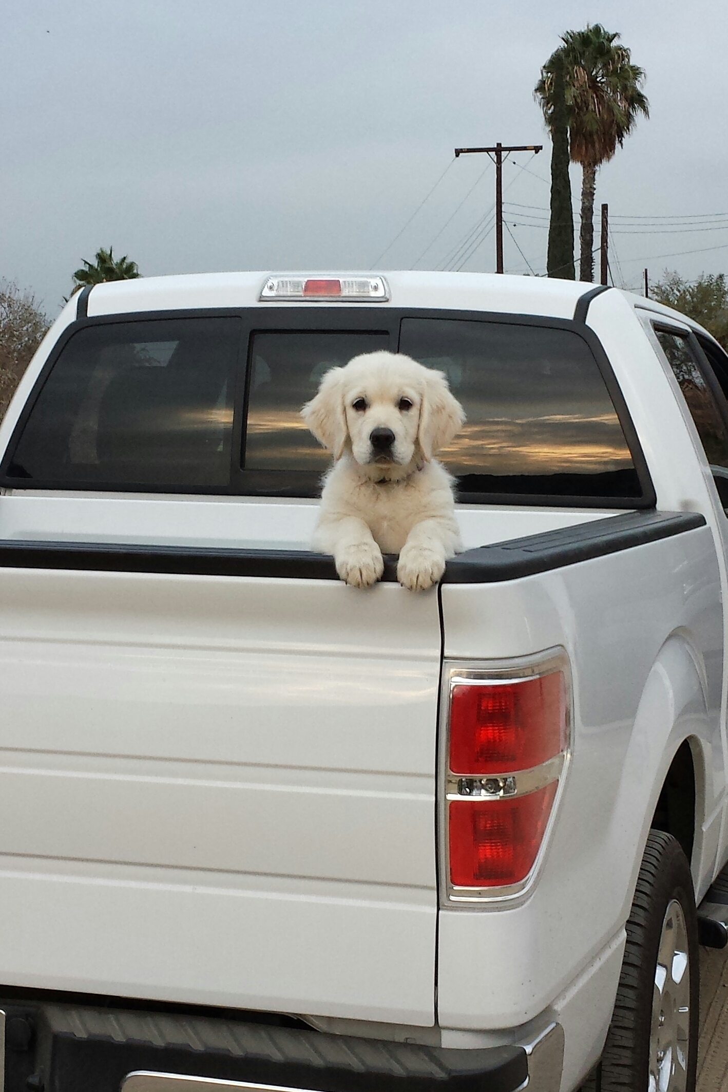 golden-retriever-truck