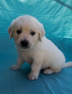 english-golden-retriever-puppy