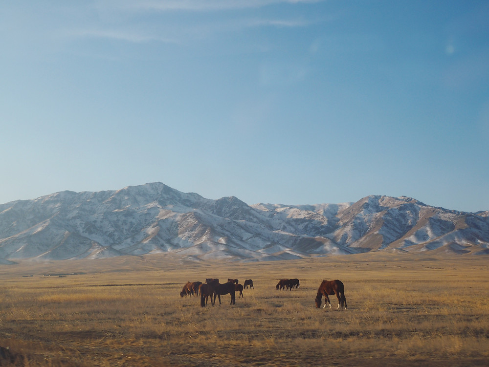 一群马儿在干草原上吃草。