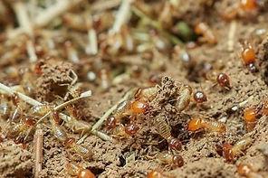 Termite Army All-State Pest adn Termite Control Kingsport TN.jpg