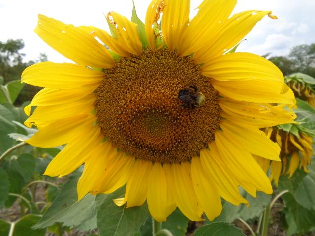 Bee on Mycogen Hybrid Sunflowers