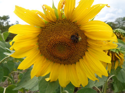 Bee on Mycogen Hybrid Sunflowers
