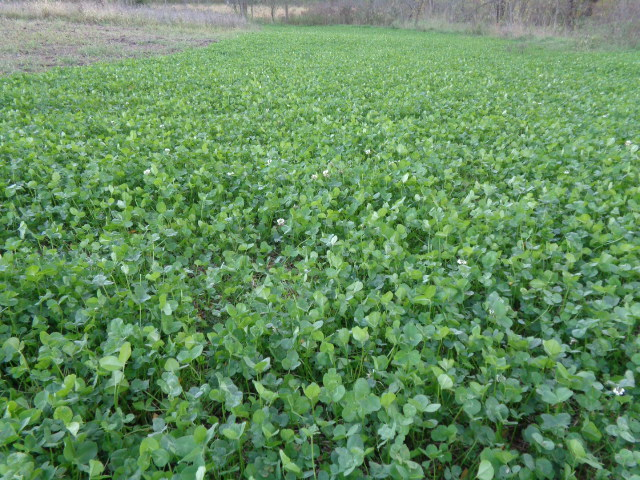 IA-MO Whitetail Clover Mix
