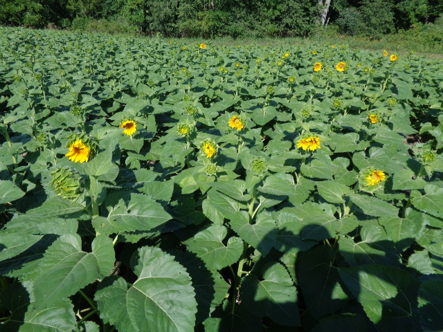 Mycogen Hybrid Sunflowers