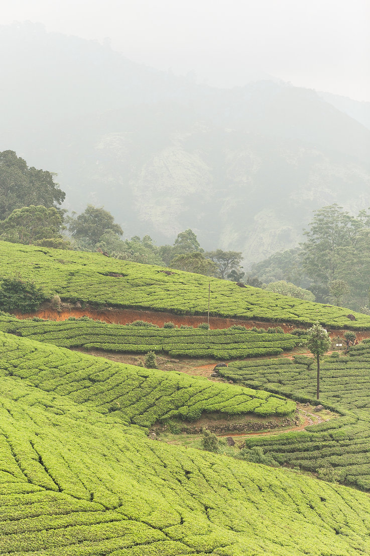 Tea plantations patterns with mountains in Munnar India
