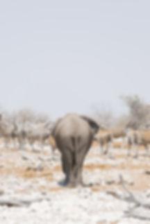 Elephants bottom at Etosha National Park in Namibia South Africa