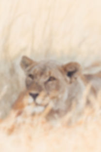 Female lion in the long grass at Etosha National Park in Namibia South Africa