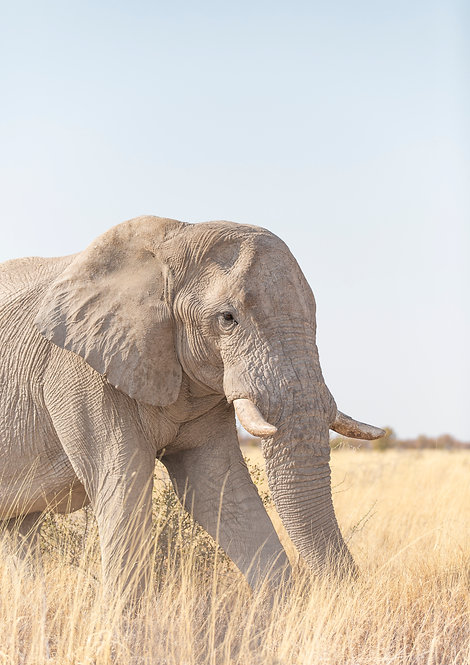 Elephant. Namibia, South Africa.