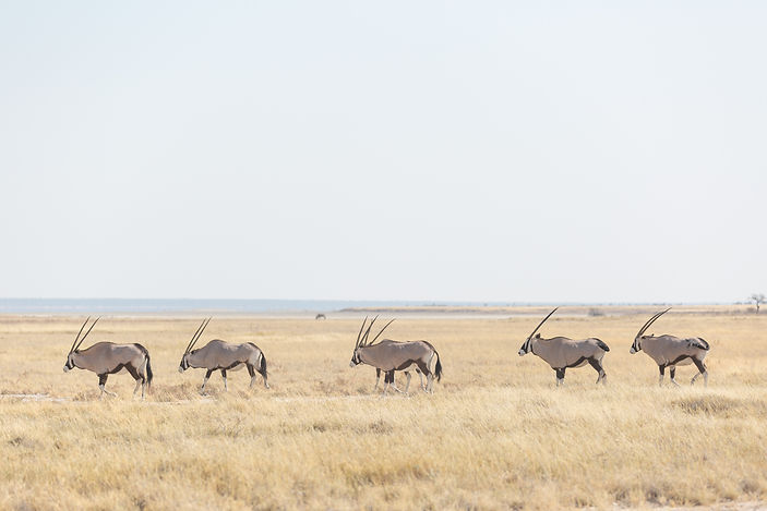 Orix's walking in long grass at Etosha National Park in Namibia South Africa