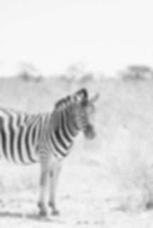 Black and white zebra at Etosha National Park in Namibia South Africa