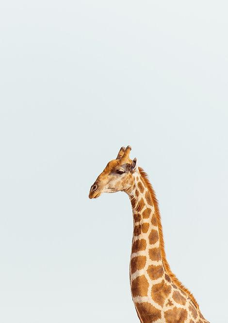 Giraffe. Namibia, South Africa.