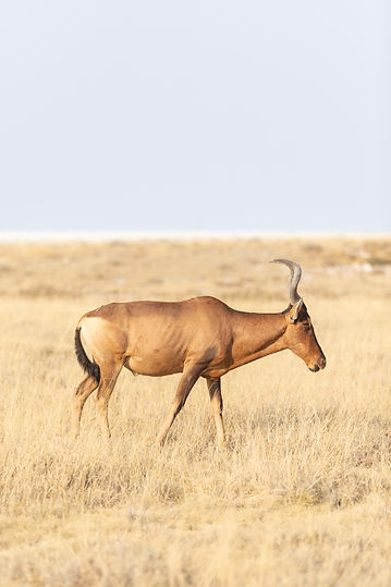Red Hartbeest at Etosha National Park in Namibia South Africa