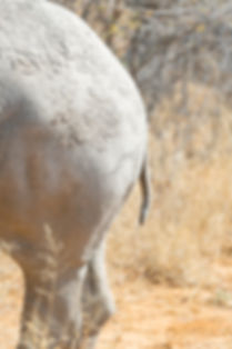 Rhinos bottom and tail in Namibia South Africa