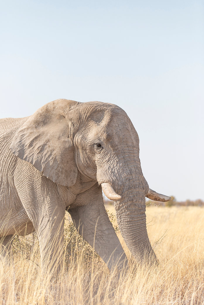 Elephant with tusks in long grass at Etosha National Park in Namibia South Africa