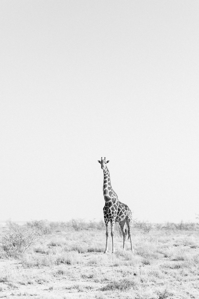 Black and white Giraffe at Etosha National Park in Namibia South Africa