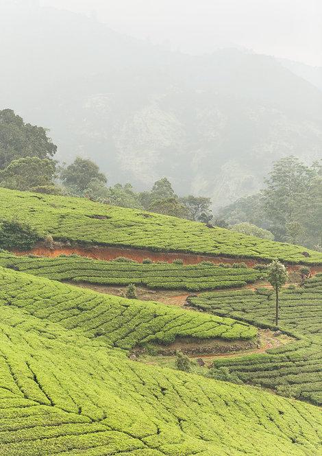 Tea Plantations. Munnar, India.