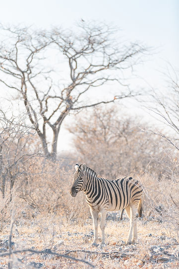 Zebra in Etosha National Park in Namibia South Africa