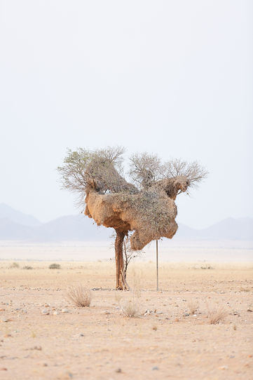 Large birds nest in Namib desert in Namibia South Africa