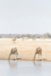 Pair of giraffes drinking at Etosha National Park watering hole in Namiba South Africa