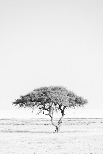 Acacia tree in Etosha National Park salt pans in Namibia South Africa