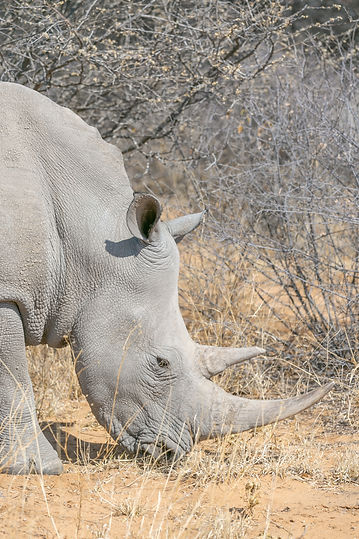Grey rhino with tusks in Namibia South Africa