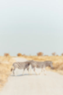 Zebras crossing the road in Etosha Natioal Park in Namibia South Africa