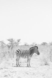 Black and white zebra at Etosha National Park in Namibia South Africa