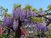 天神様の藤まつり 4~5月 画像:船橋屋