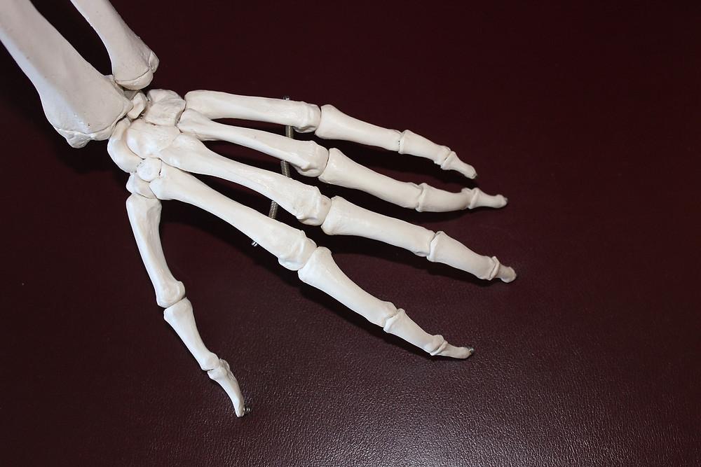 עצמות של כף יד שמאל