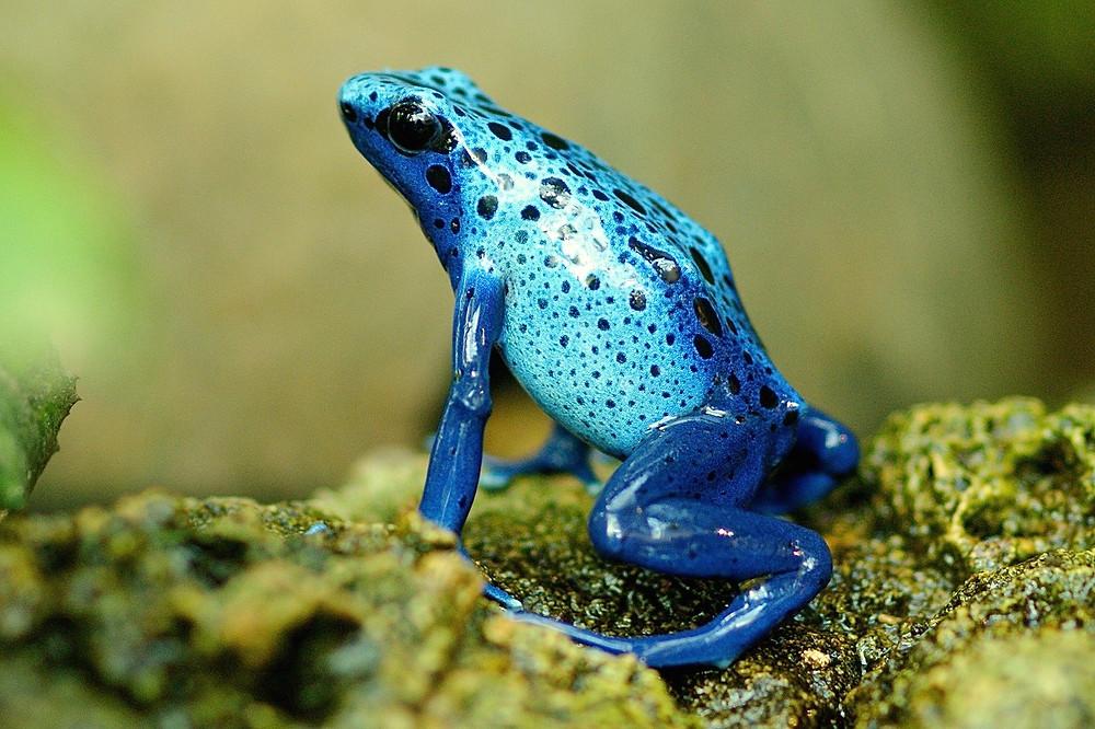 צפרדע ארסית