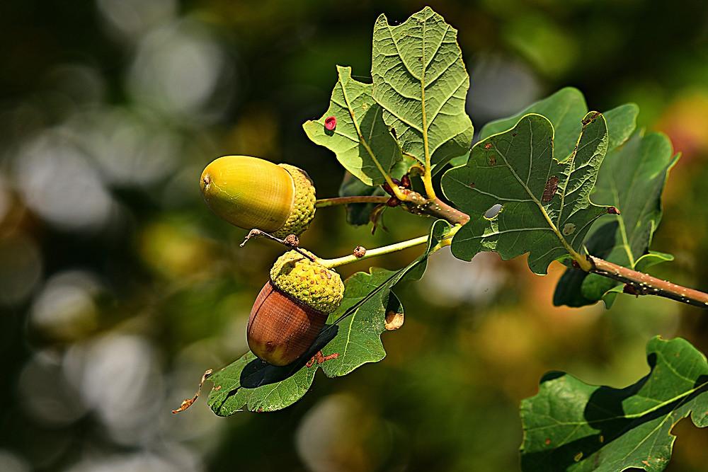 שני בלוטים על ענף עץ אלון