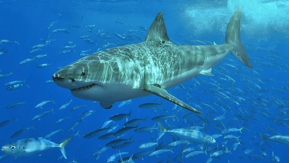 כריש לבן שוחה במים