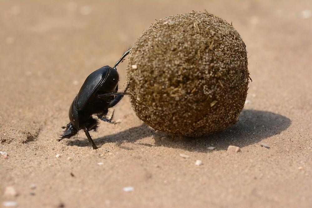 חיפושית זבל מגלגלת כדור