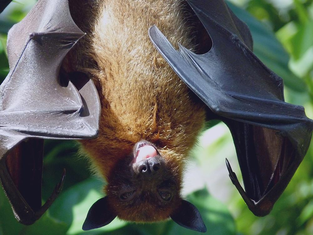 עטלף תלוי על ענף
