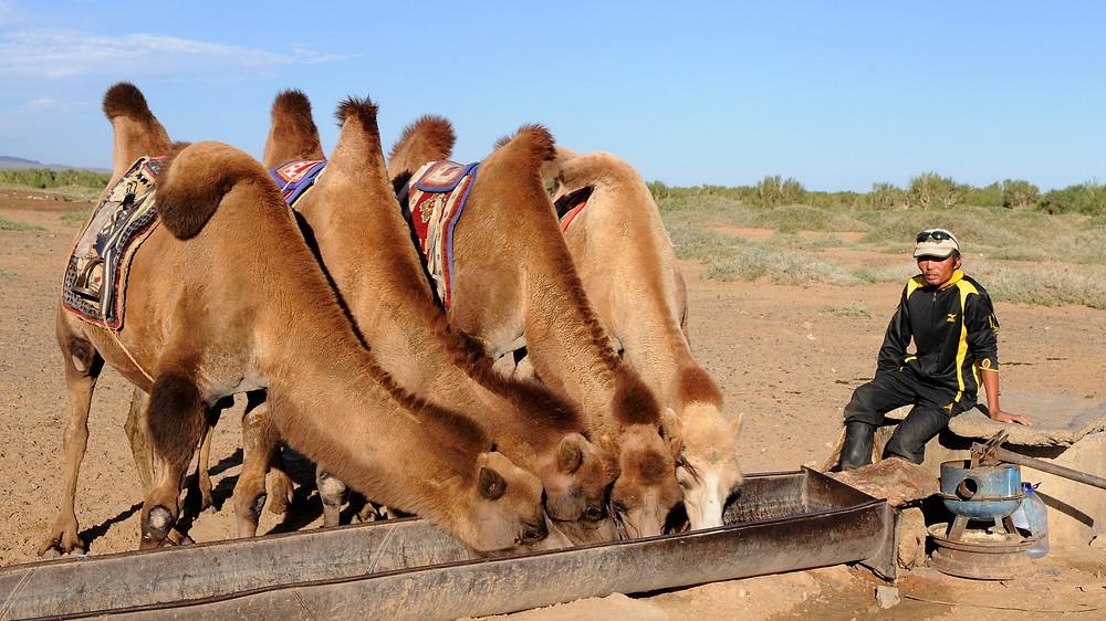חבורת גמלים שותה מהשוקת