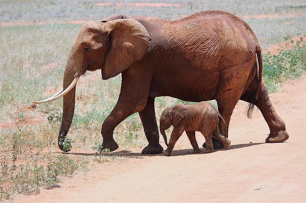 פילה צועדת עם הפילון שלה לידה