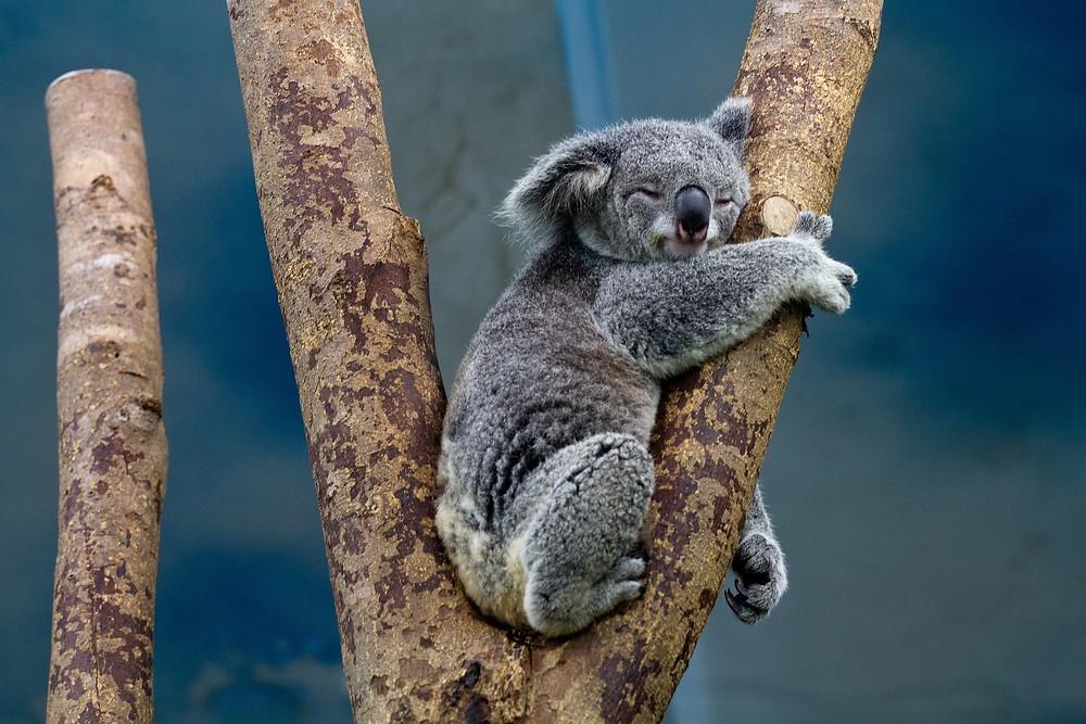 דב קואלה מנמנם על ענף