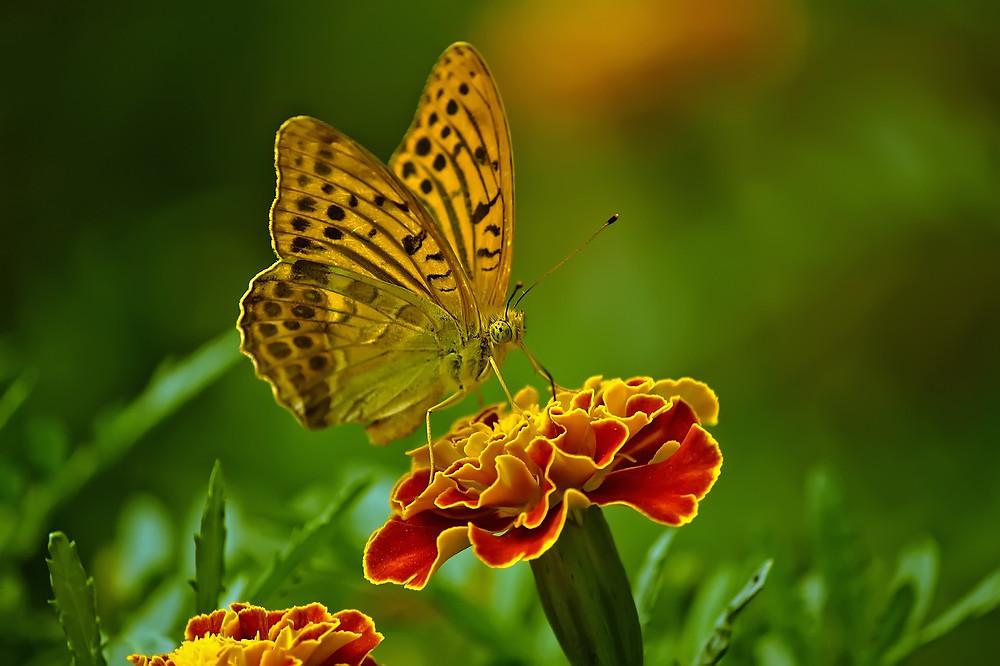 פרפר מוצץ צוף מפרח