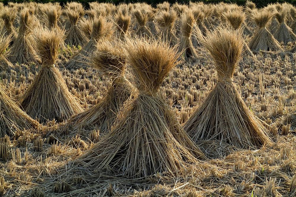 אלומות שיבולים בשדה