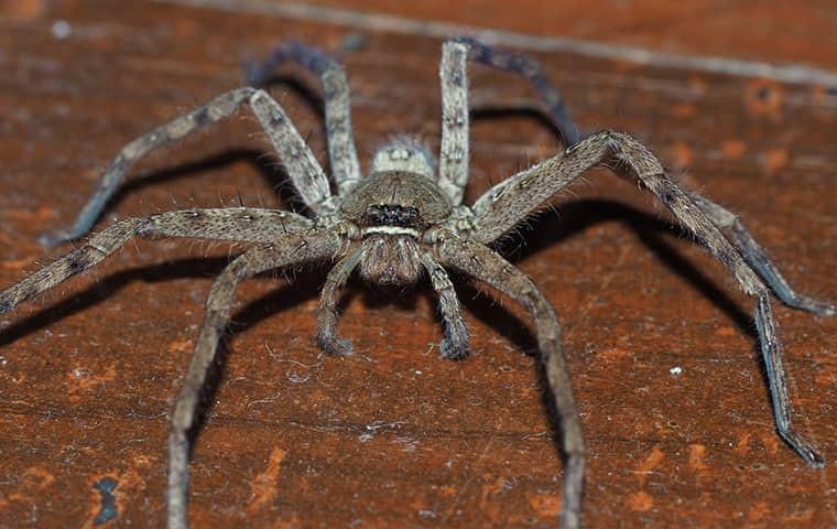 עכביש הצייד הענק