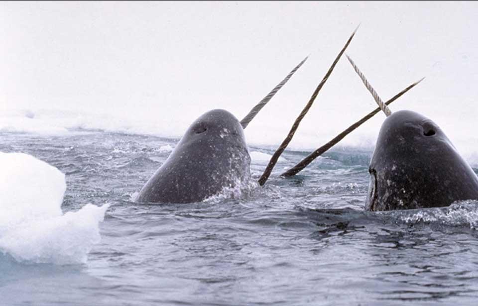 ליוייתני חד שן