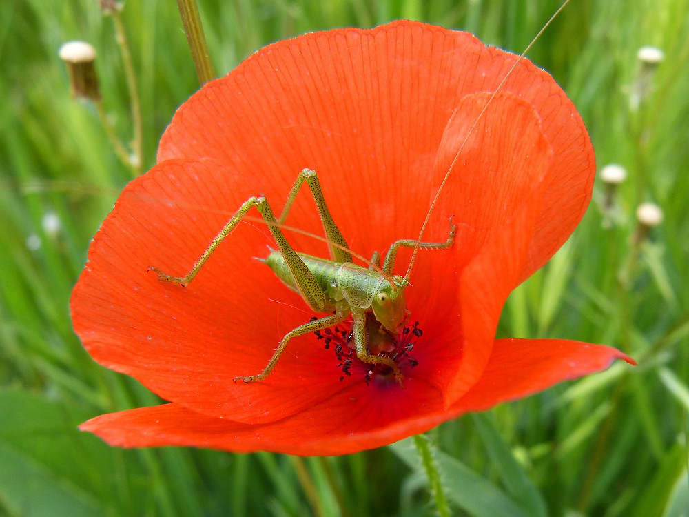 צרצר על פרח אדום