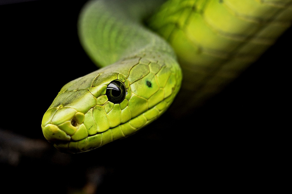 נחש ירוק מוציא לשון