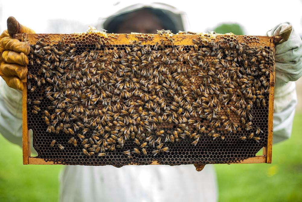 דבוראי מחזיק מדף מכוורת דבורים